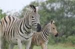 Mom and baby zebra.